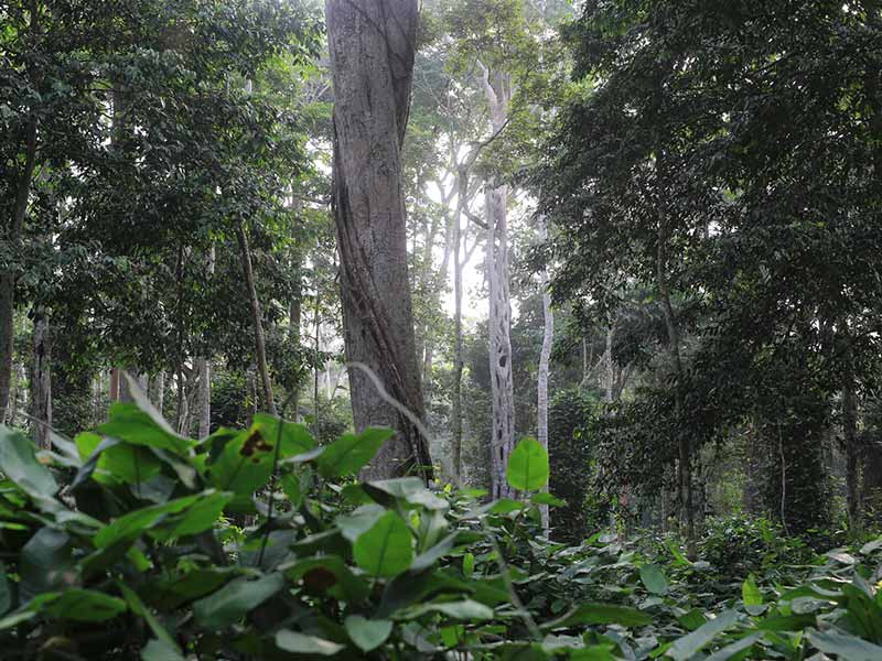 Marantaceae herbaceous vegetation forms a widely extended mosaic in the North of Congo