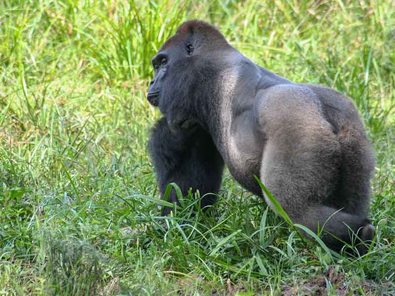 World Gorilla Day IFO INTERHOLCO